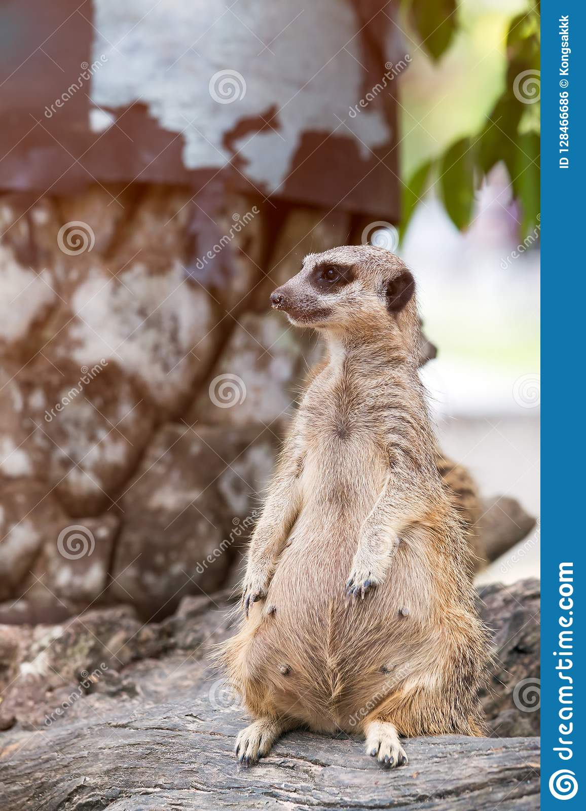 Meerkat standing over stump and looking a survey for drove