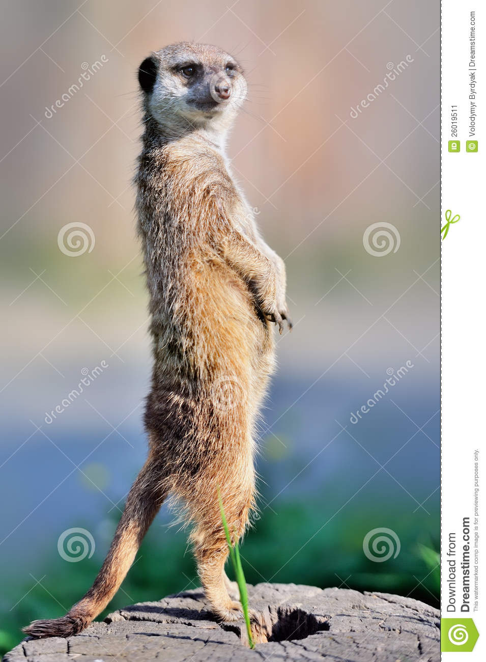 a meerkat standing upright stock image image 26019511 united states clip art government united states clip art image