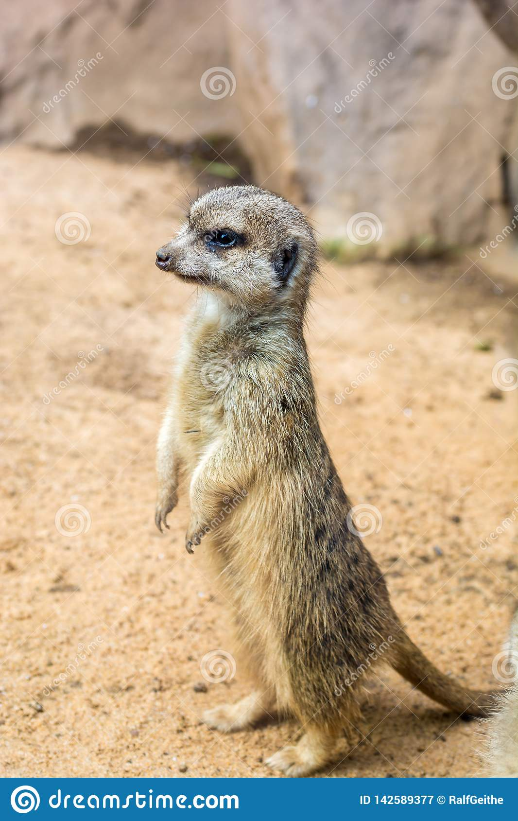 Meerkat steht neugierig auf den Hinterbeinen und dem Schutz sein Bau