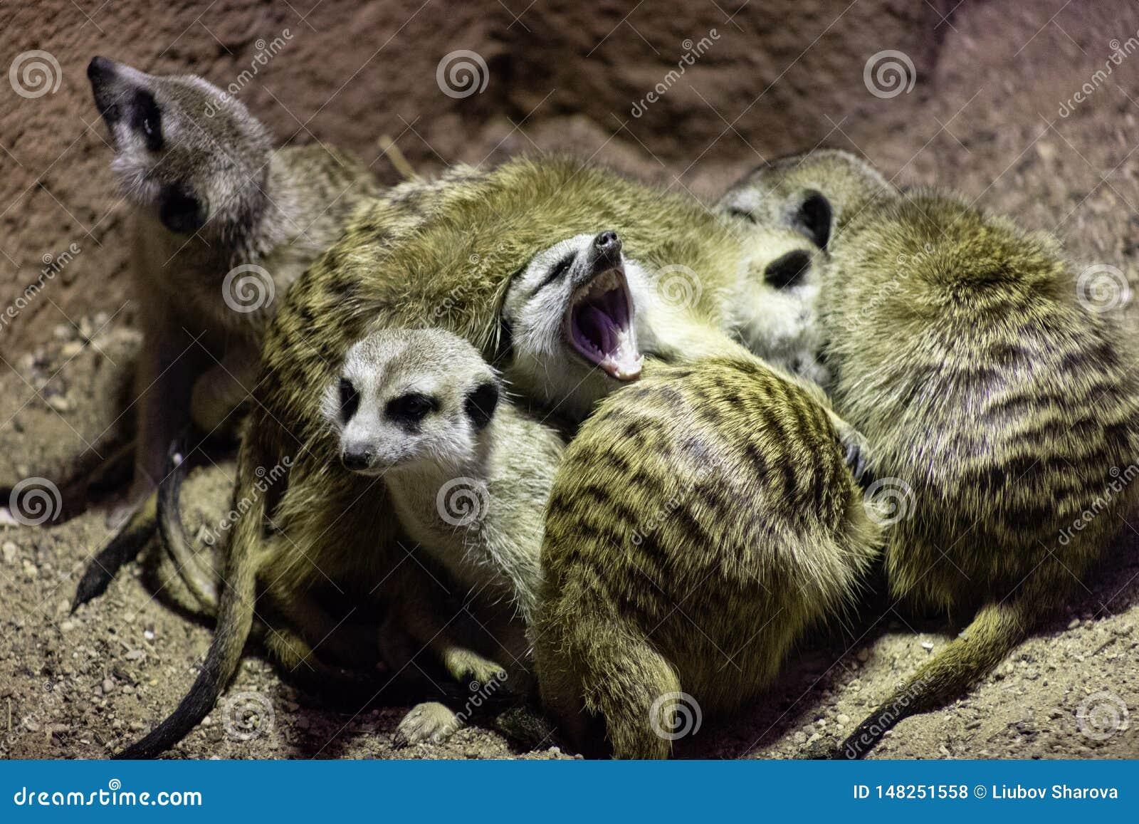 Meerkat-Suricatasamen sowie -insekten, alias meerkats schlafen zusammen in einem Haufen, süßes Gegähne eins