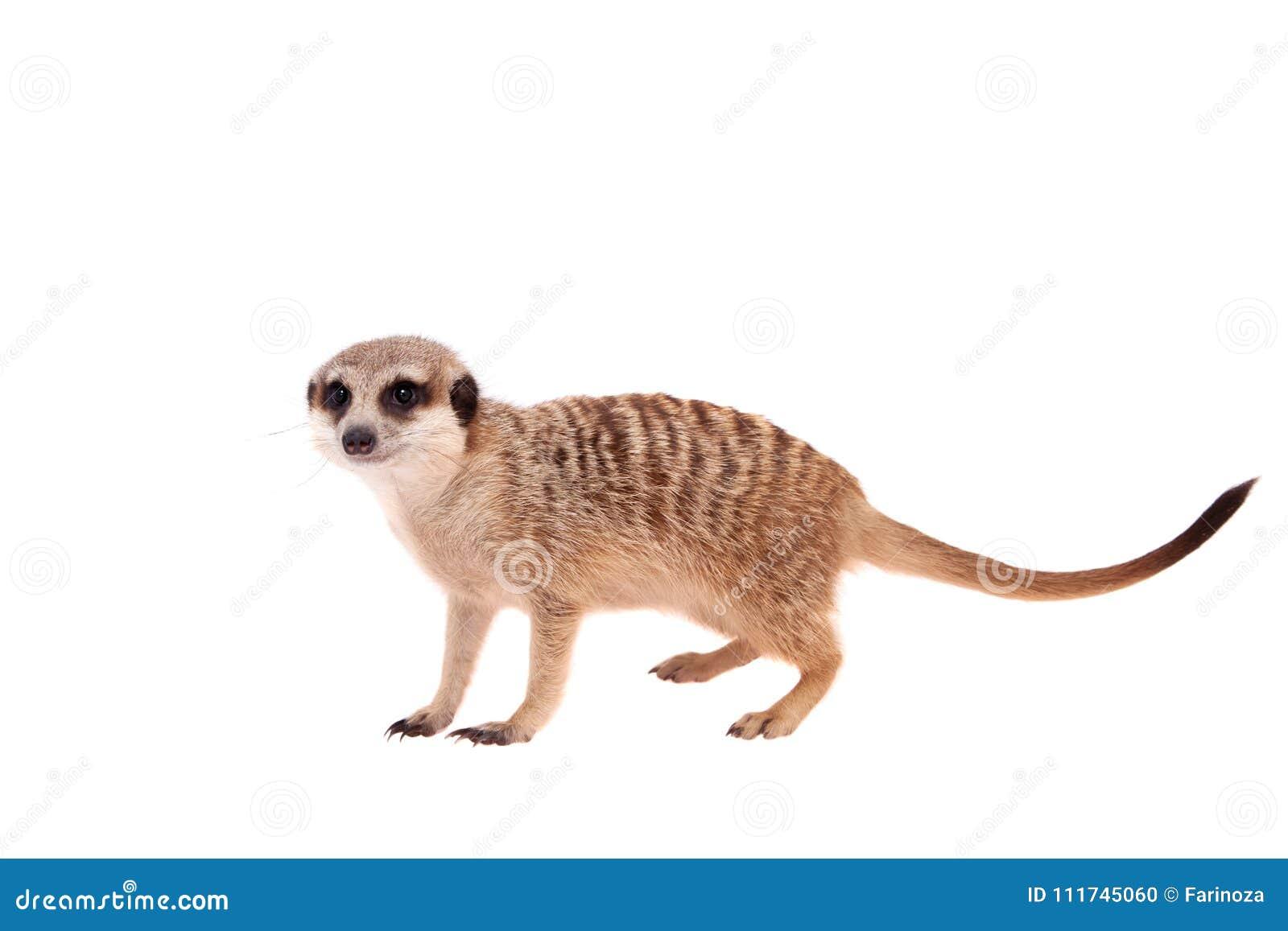 Meerkat of suricate werpt, 2 maand oud, op wit