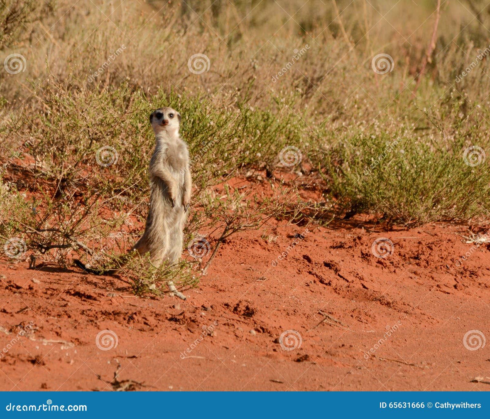 Meerkat vigilant