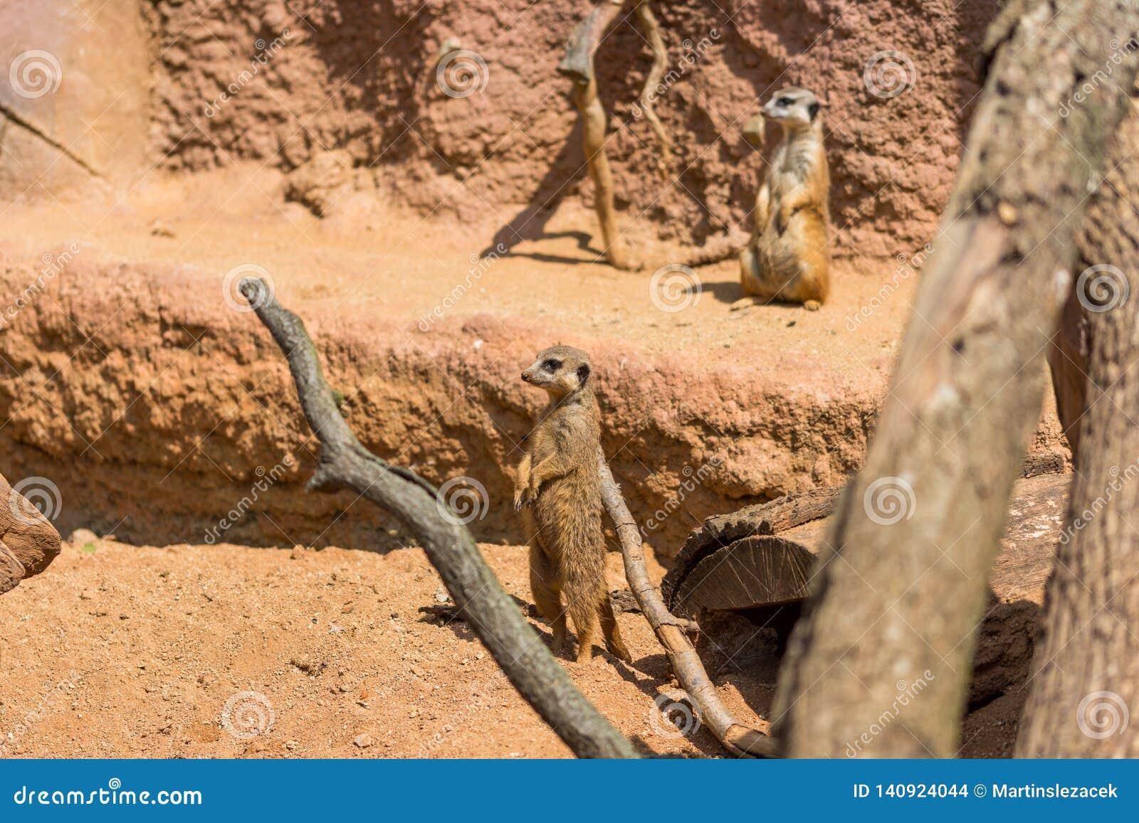 Meerkat zwierzęcy łaciński imię Suricata Suricatta w dzikim Szczegół afrykański zwierzęcy odprowadzenie na ziemi Czujny strzeżeni
