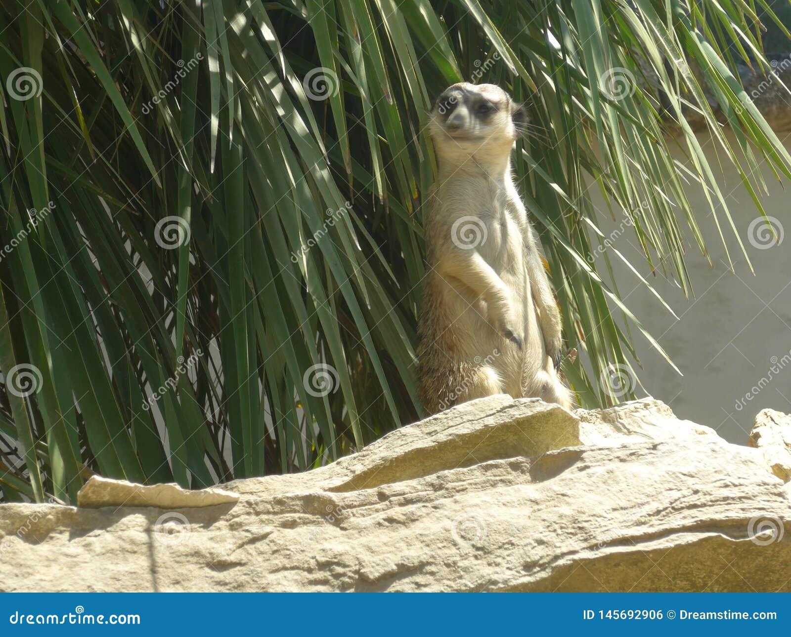 Meerkaten eller suricaten