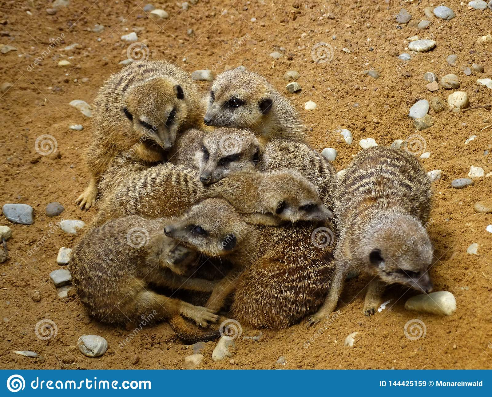 Meerkats che stringe a sé nello zoo in Baviera
