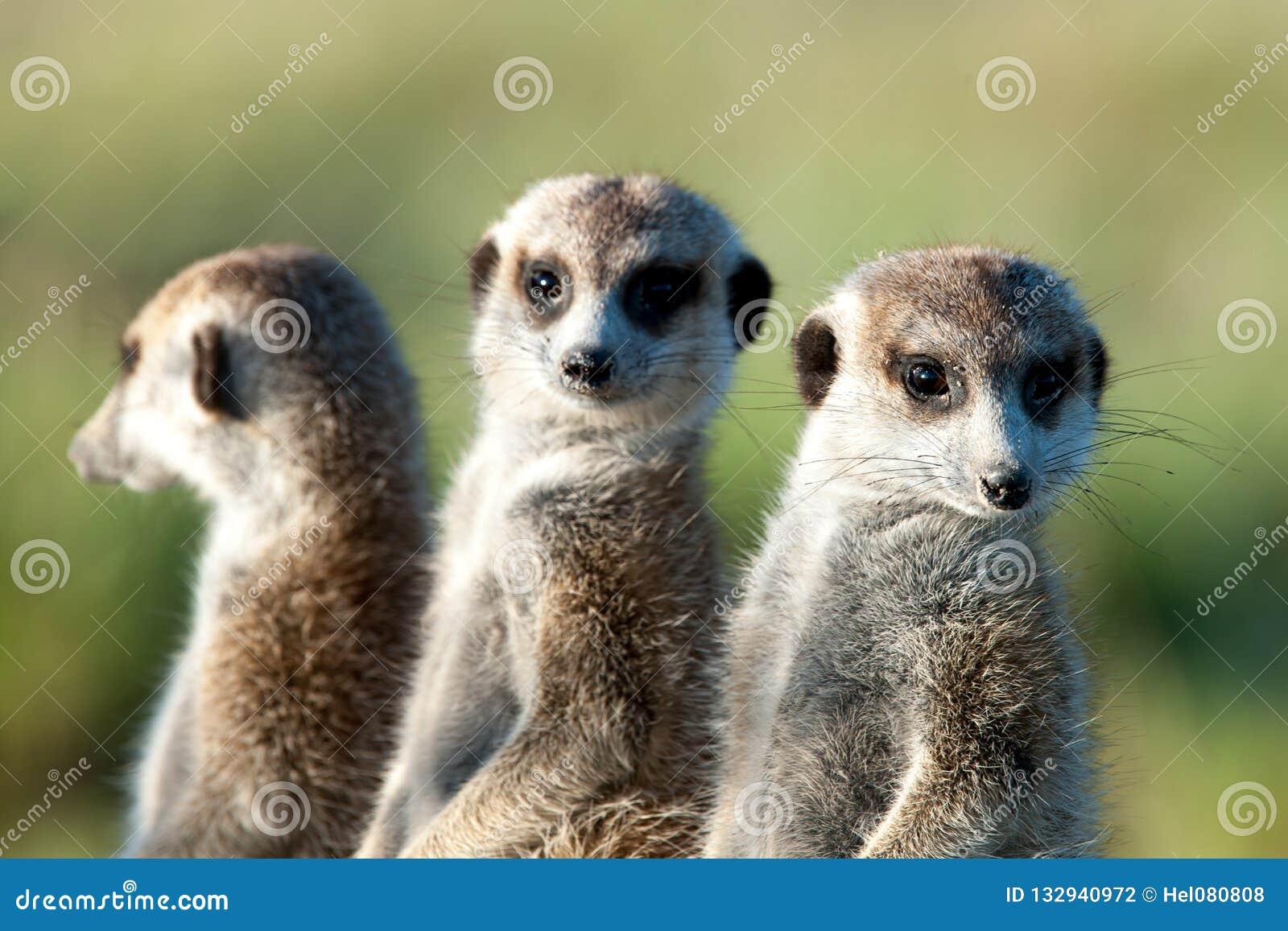 Meerkats en África, tres meerkats lindos que guardan, Botswana, África