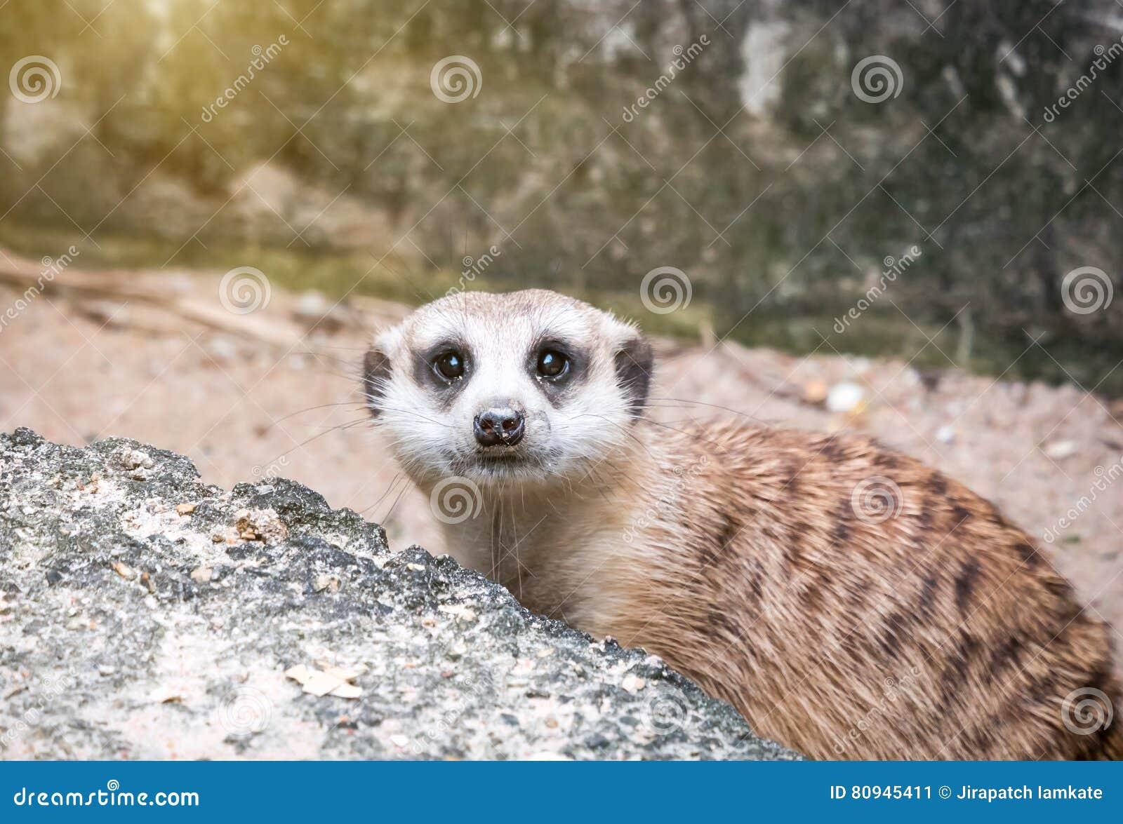 Meerkats looking gaurd