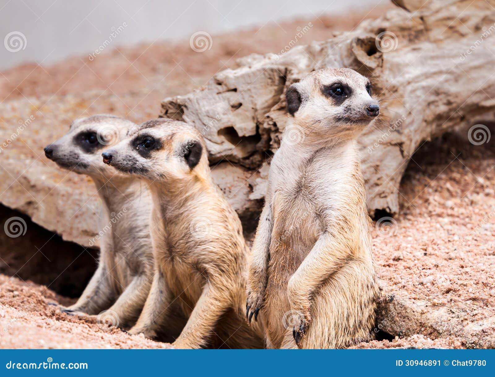 Fotos De Stock Chat9780: Meerkats Looking For Something Stock Image