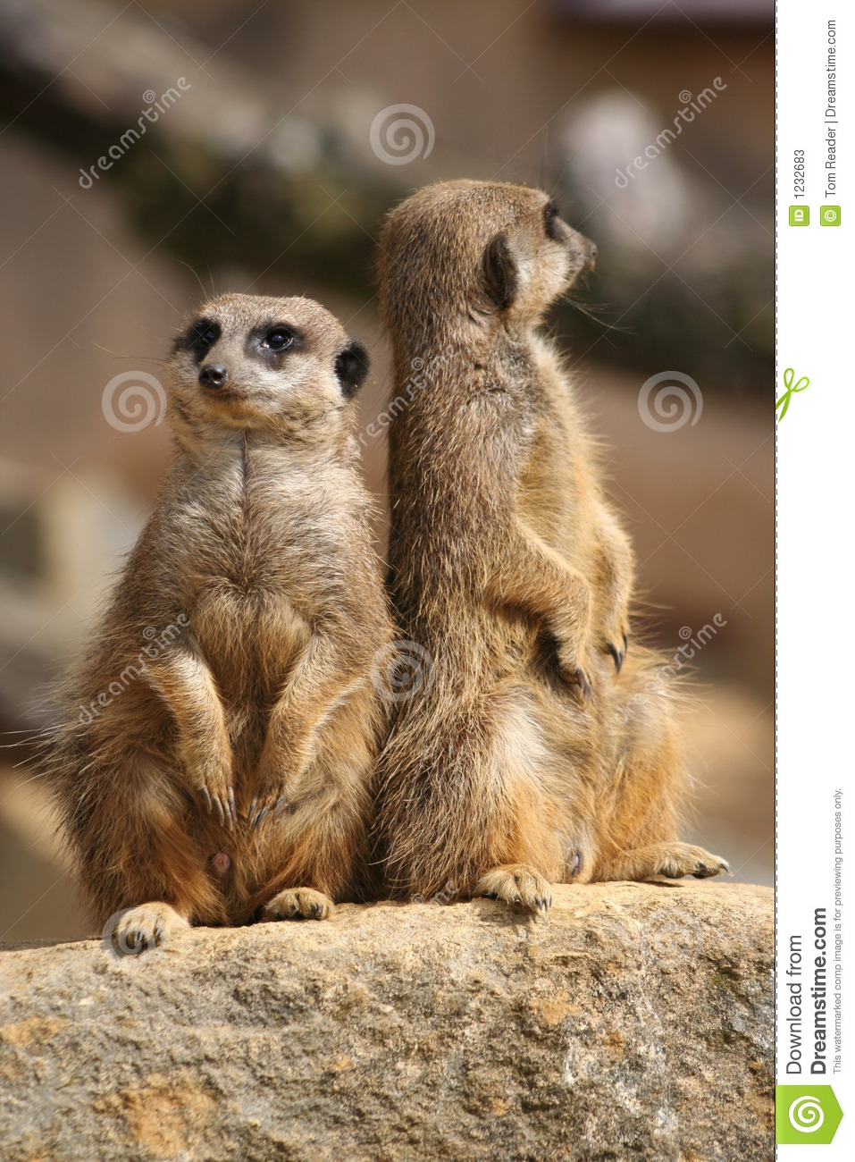 Meerkats on lookout