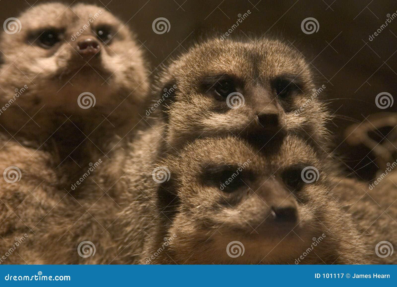 Meerkats rodzinne