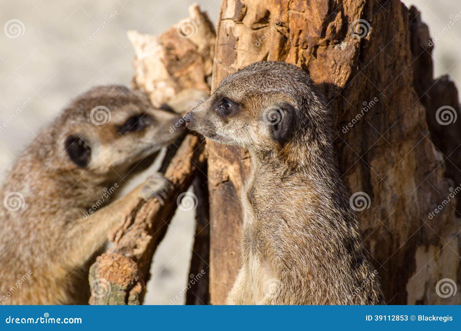 Meerkats (suricate) op wachtplicht