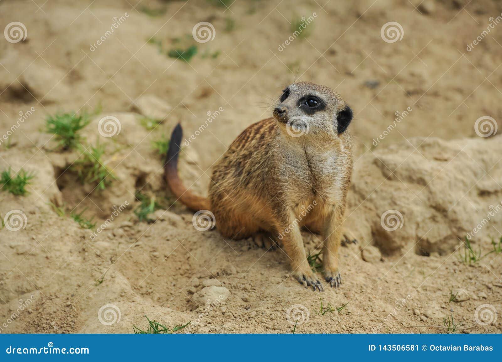 Meerkatzitting op zand die op anderen letten