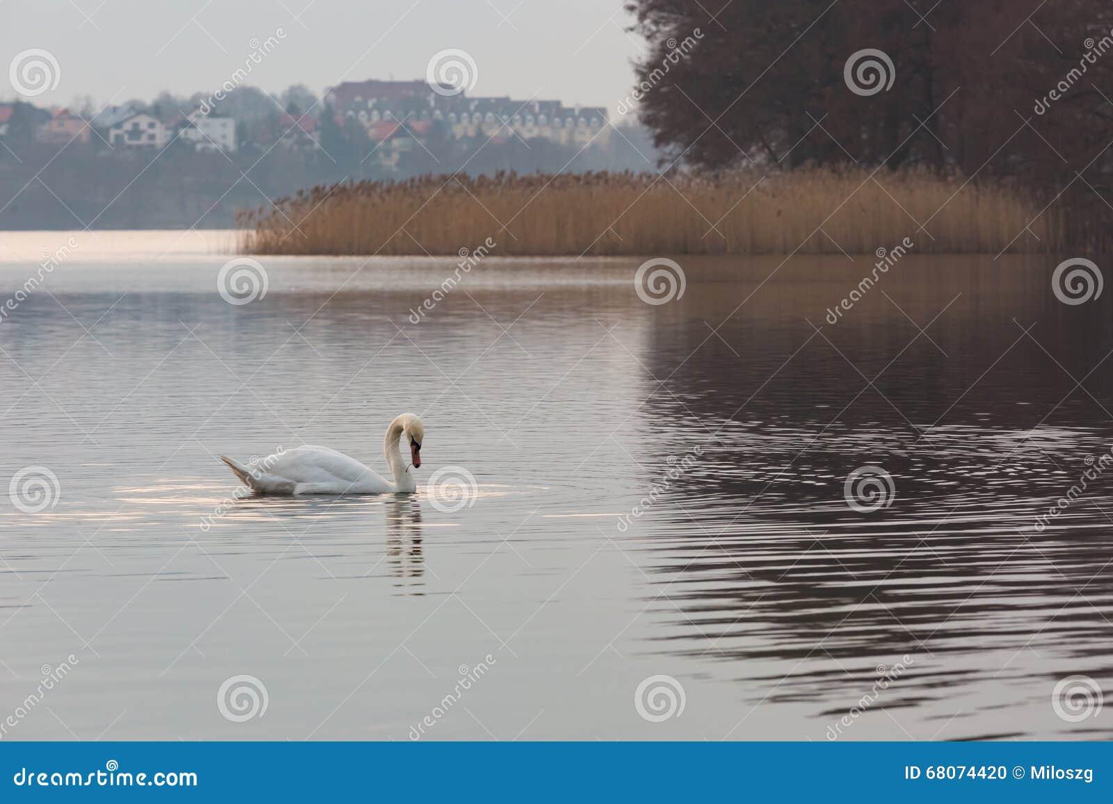 Meerlandschap met zwemmende zwanen