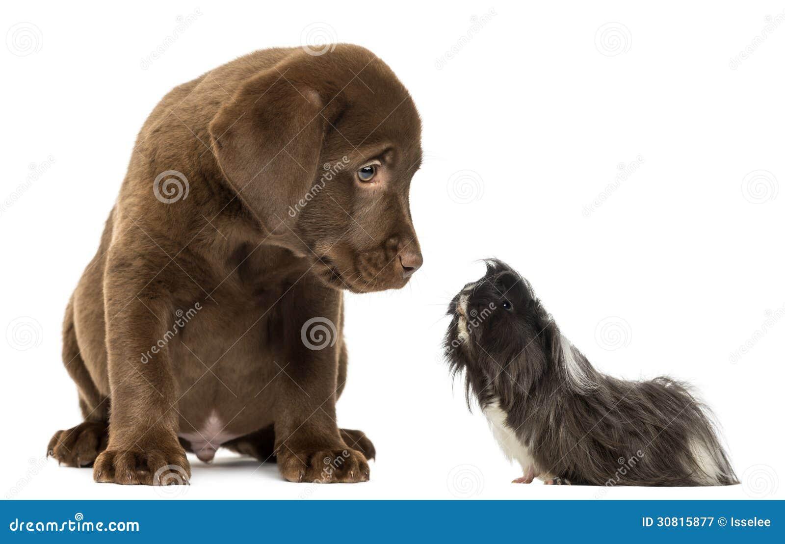 Labrador Club Deutschland eV - Erwachsene Labradore