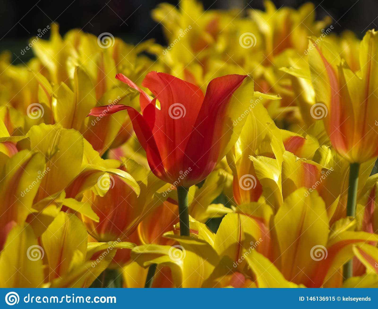 Meestal Rode Tulip Amidst Yellow Striped Tulips