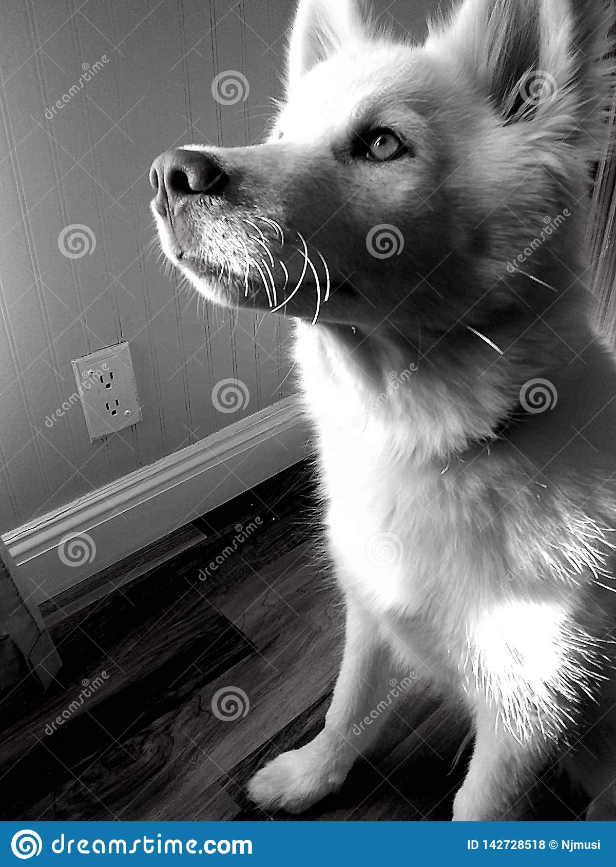 Meet Blue. Husky pure posed purebred dog puppy royalty free stock photos