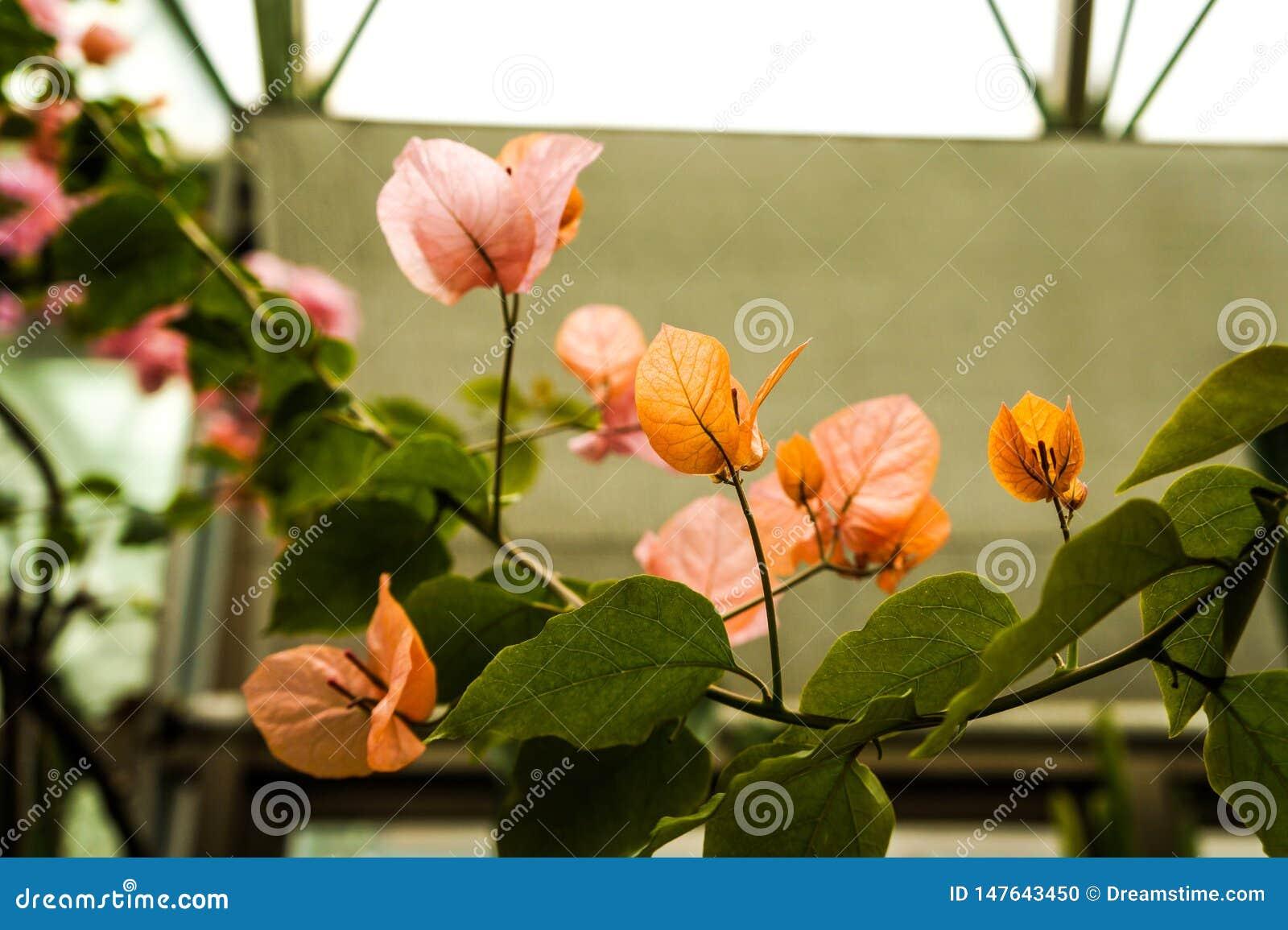 Bougainvillea flower of botanical garden