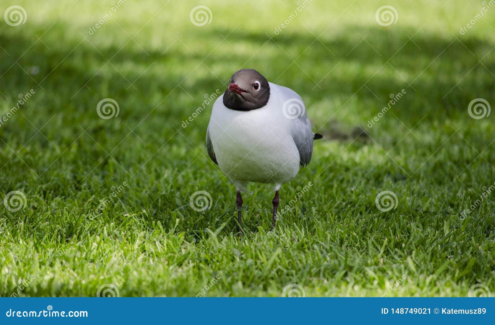 Meeuw met zwarte kop op gras