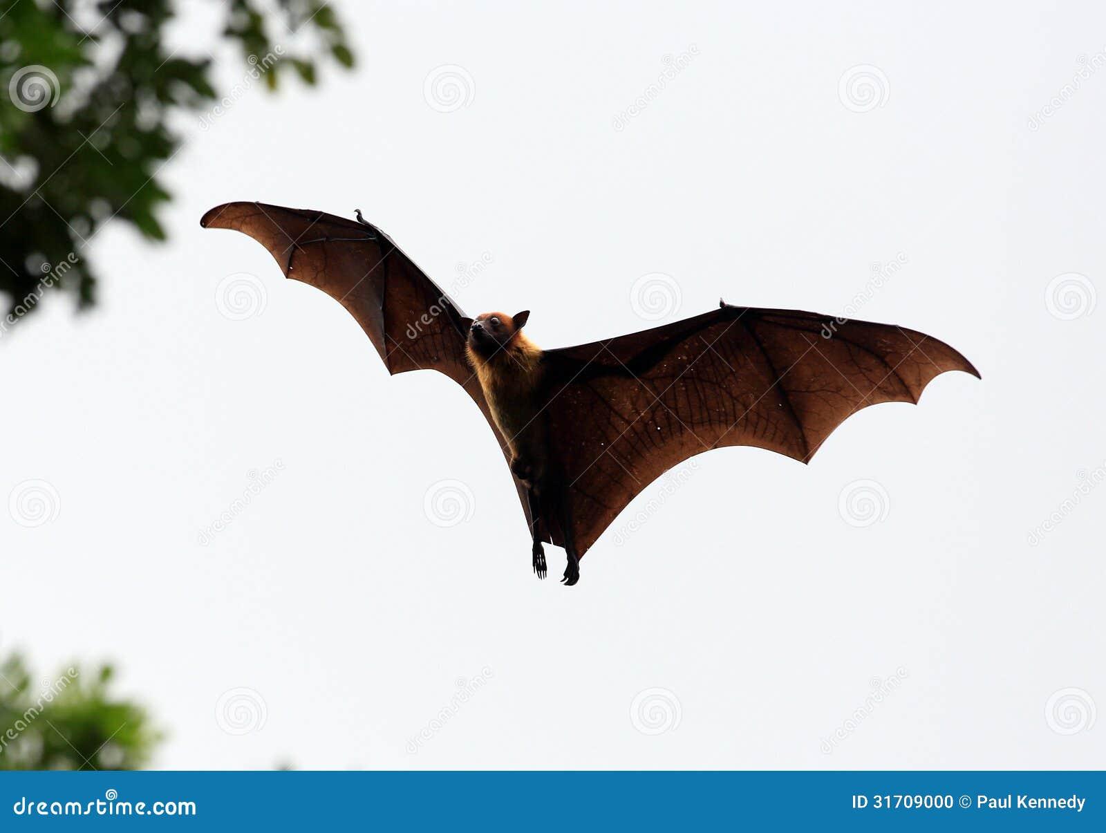 Megabat (raposa de voo)