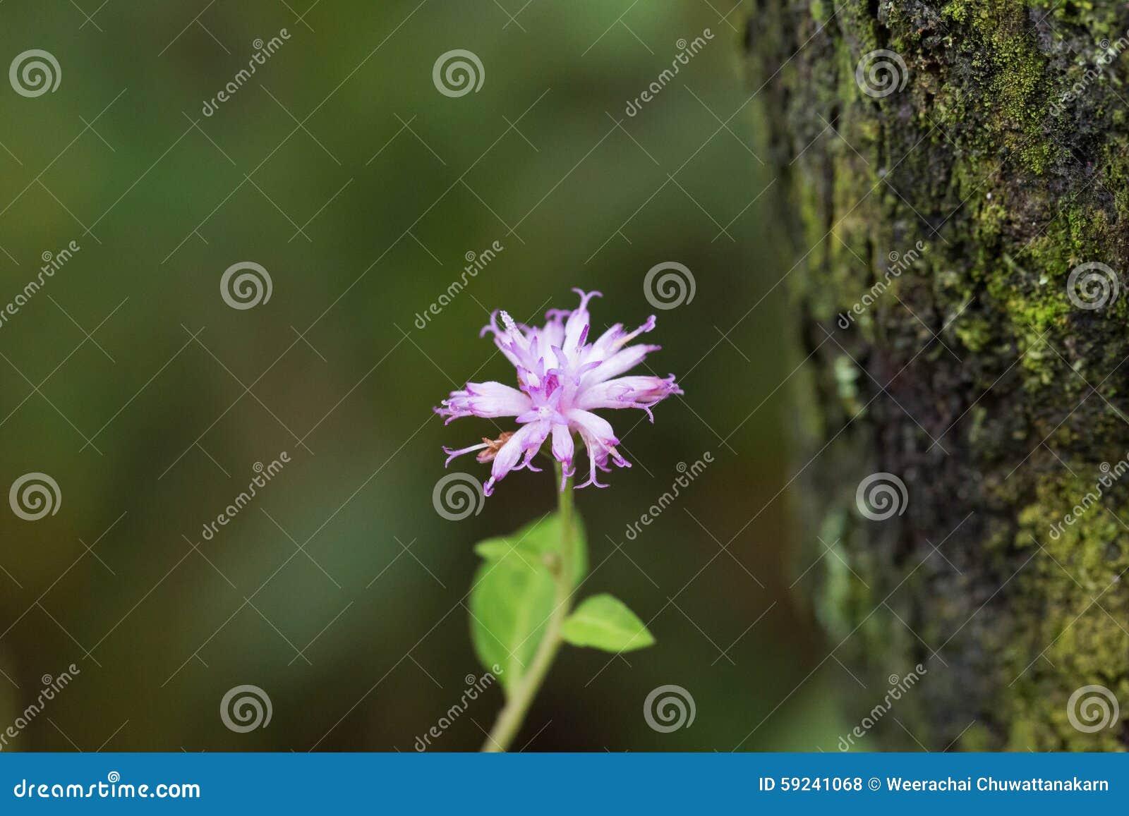 Download Megacephala Sch De Ethulia Bip Ex Miq Foto de archivo - Imagen de flor, travieso: 59241068
