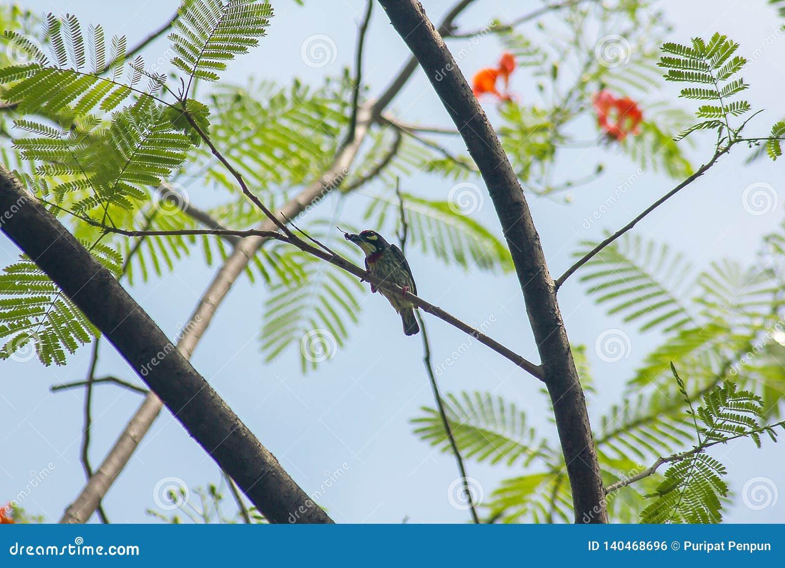 Megalaima-haemacephala ist auf dem Baum