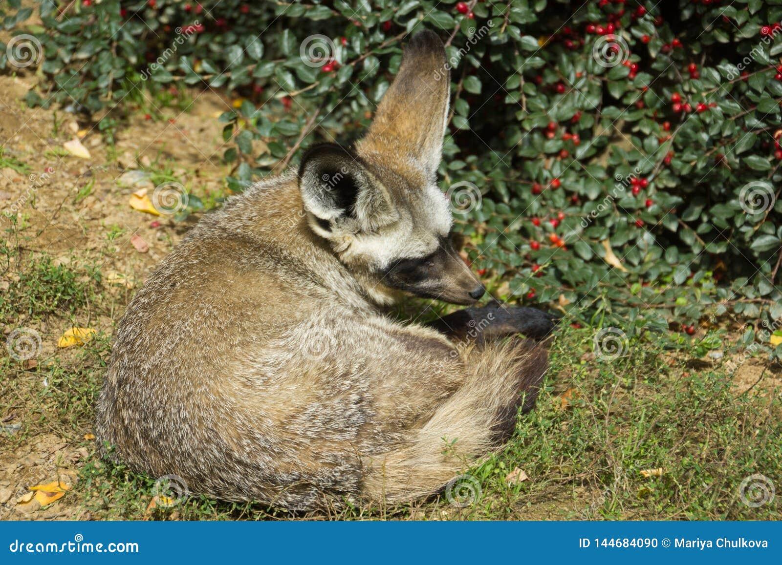 Летуч-ушастая лиса под кустом ягоды
