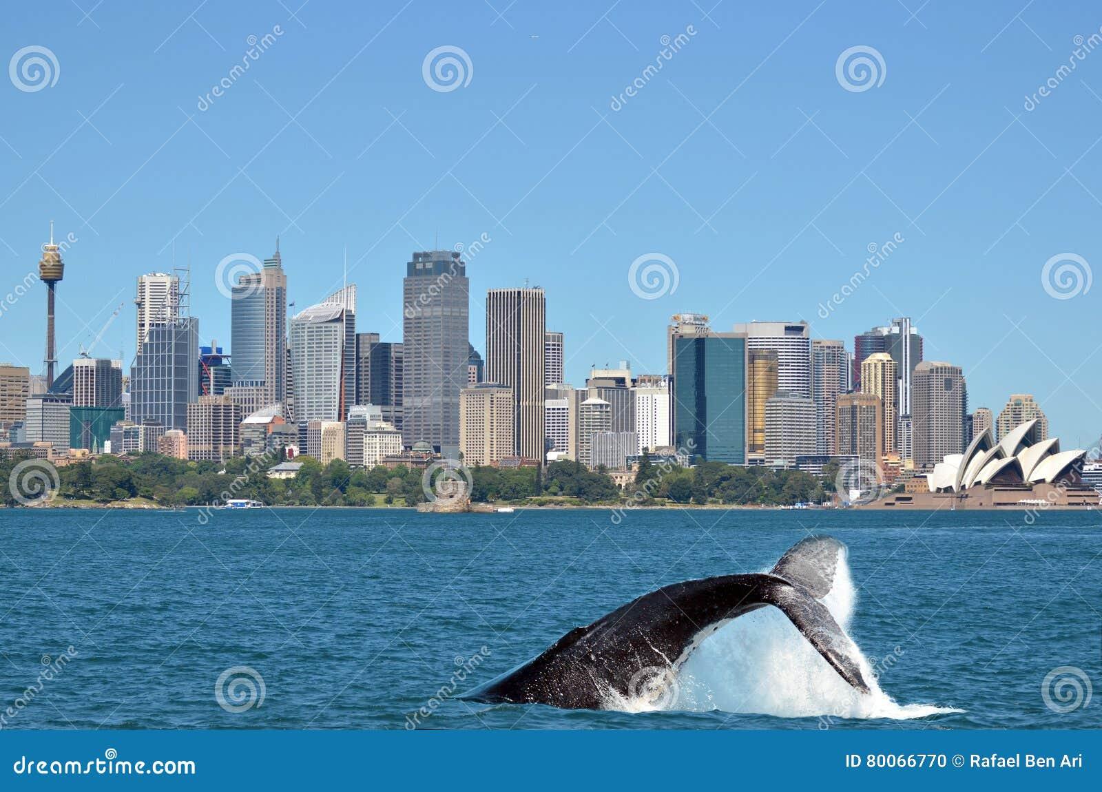 Megattera contro l orizzonte di Sydney in Nuovo Galles del Sud australe