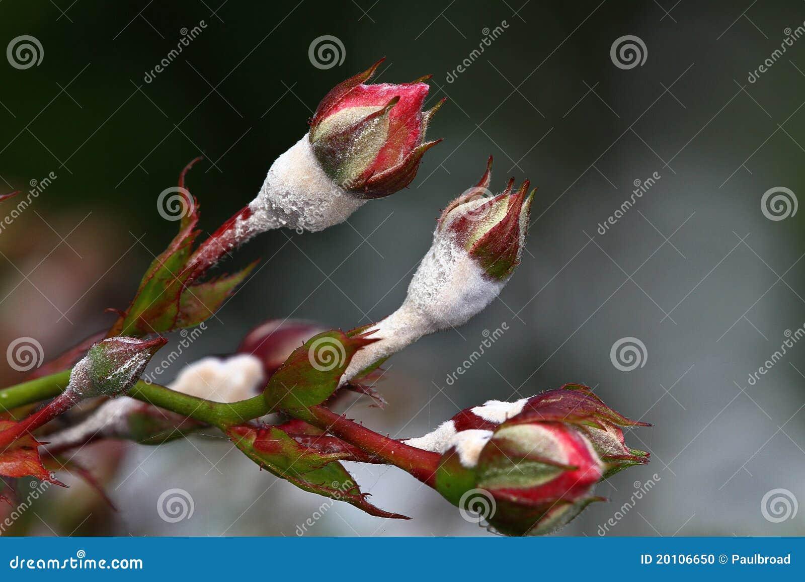 mehltau auf rosen stockfoto bild von rosen mehltau. Black Bedroom Furniture Sets. Home Design Ideas
