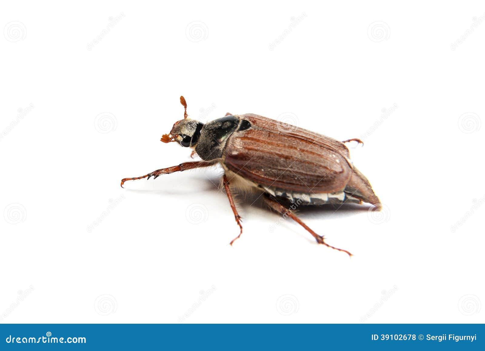 Mei-insectenmacro op wit wordt geïsoleerd dat.