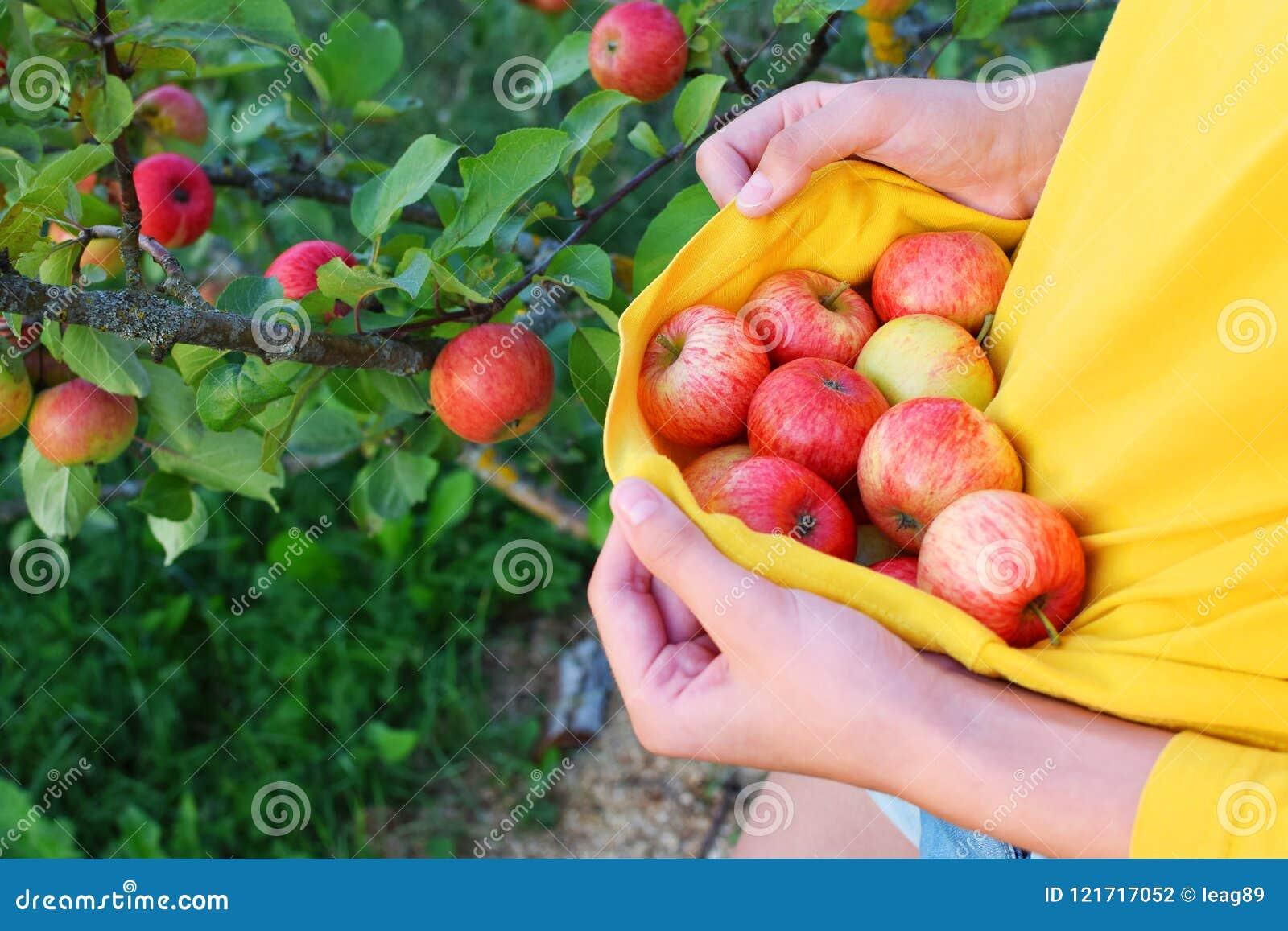 Meisje die rode rijpe de zomerappelen plukken
