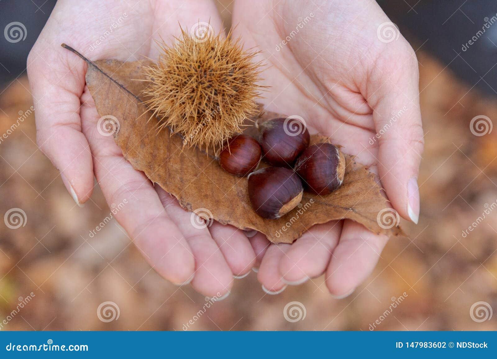 Meisjeshanden die een blad en kastanjes tonen De herfst