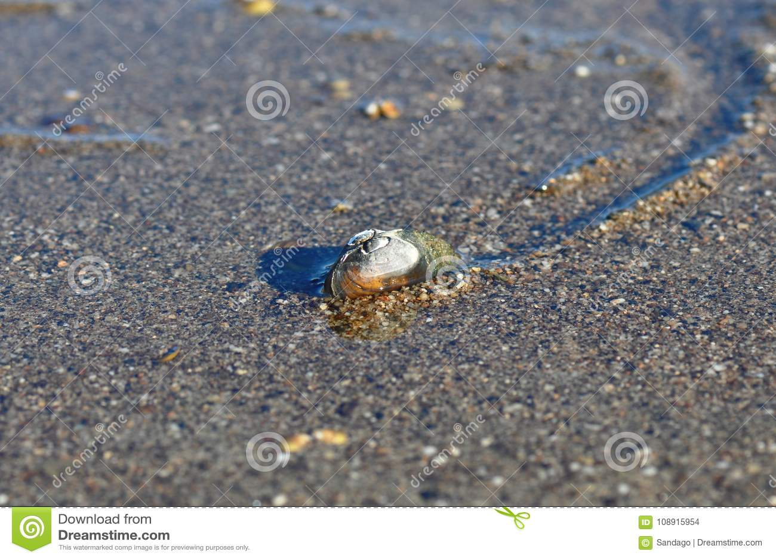 Mejillones de agua dulce, unionoida bivalvo acuático de los mulluscs