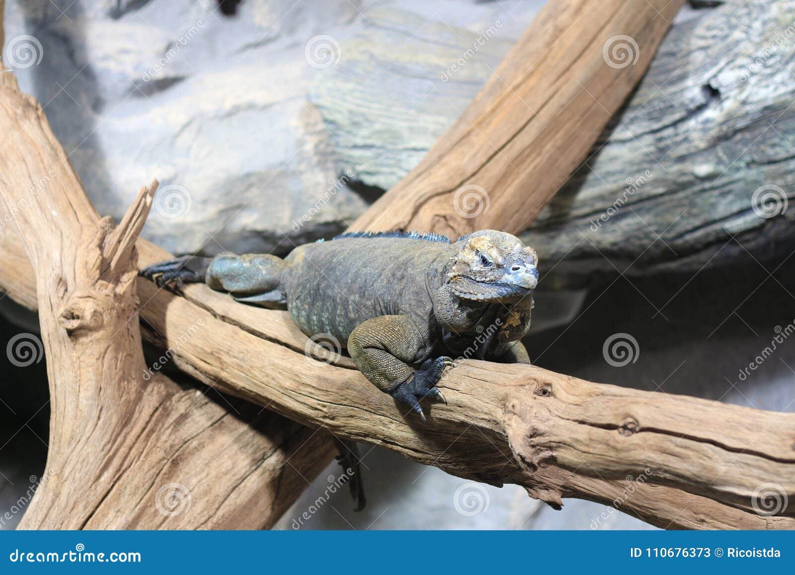 Meksykańska iguana odpoczywa na gałąź