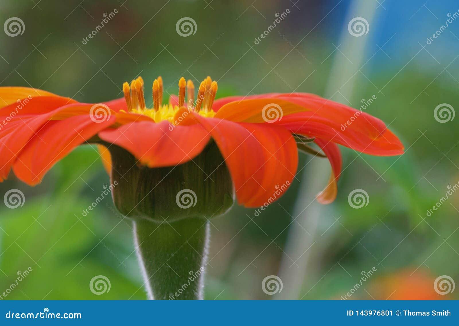 Meksykański słonecznik kwitnie na Hawaje wyspie