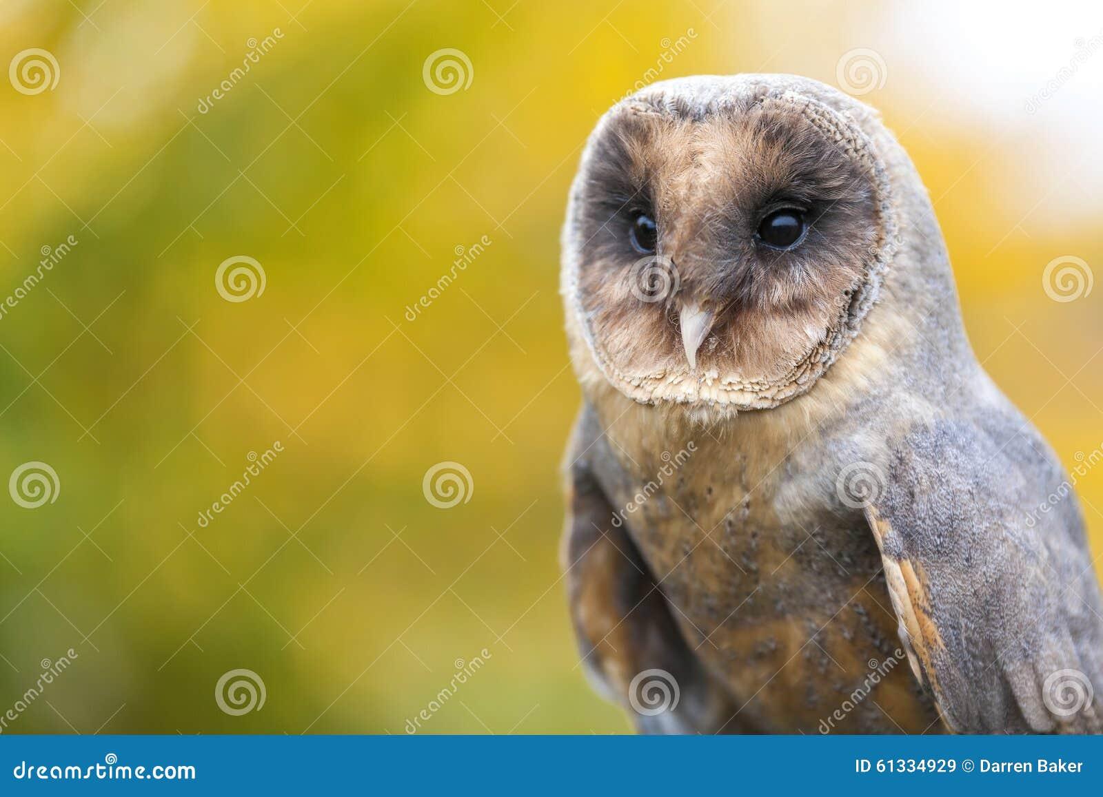 Melanistic ou coruja de celeiro preta