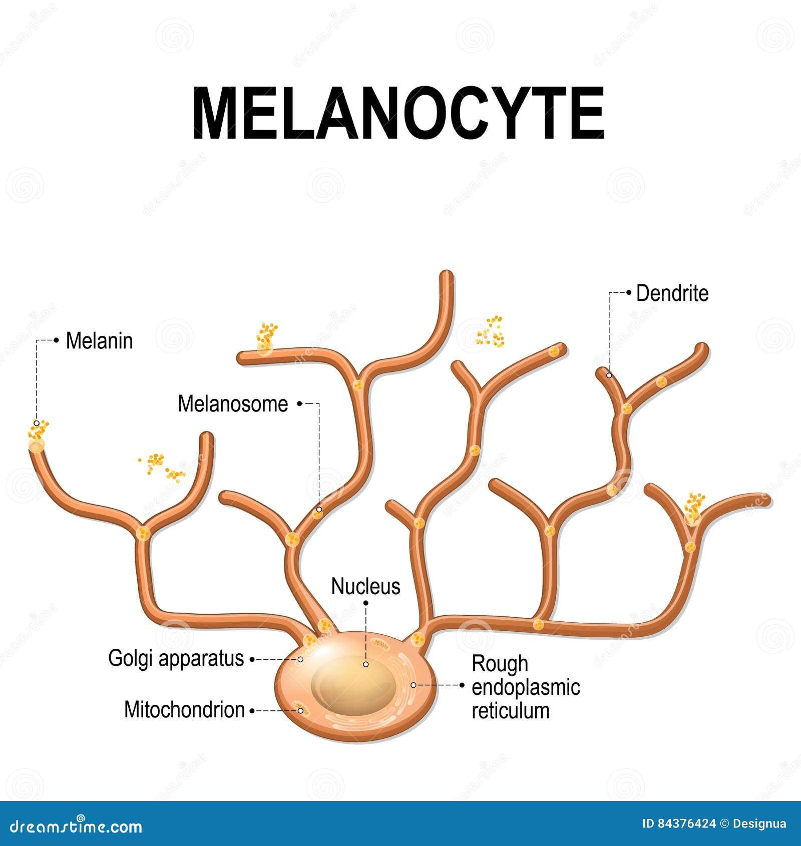 Melanocyte, Melanin Und Melanogenesis Vektor Abbildung ... - photo#20