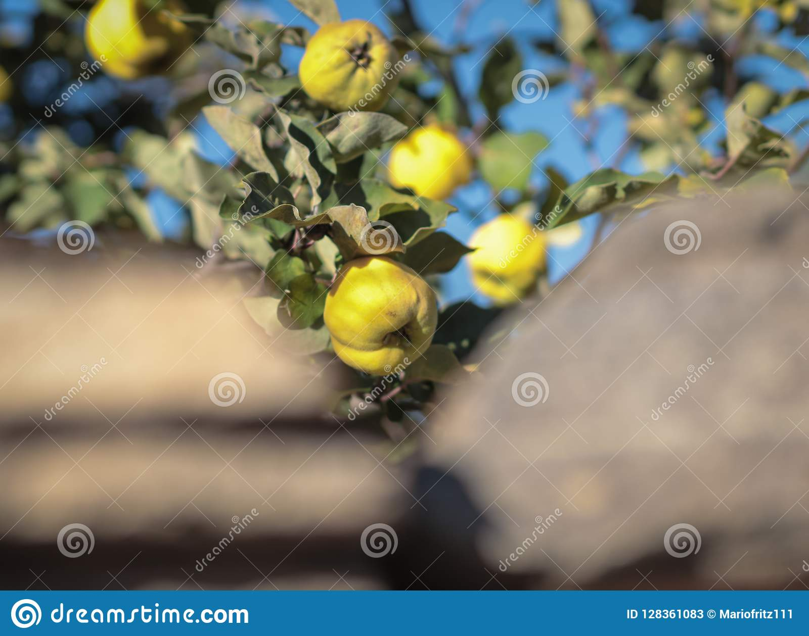 Mele gialle verdi che appendono e che crescono su un albero verde in un giardino