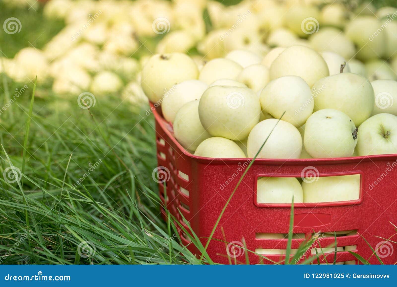 Box In Plastica Per Giardino.Mele Organiche Fresche Di Estate In Una Scatola Di Plastica Del