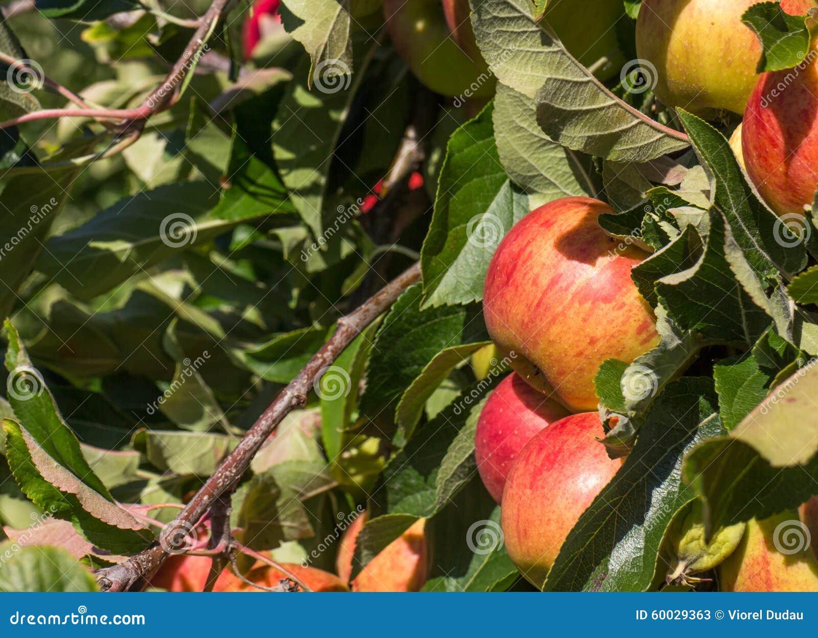 Mele rosse organiche in albero