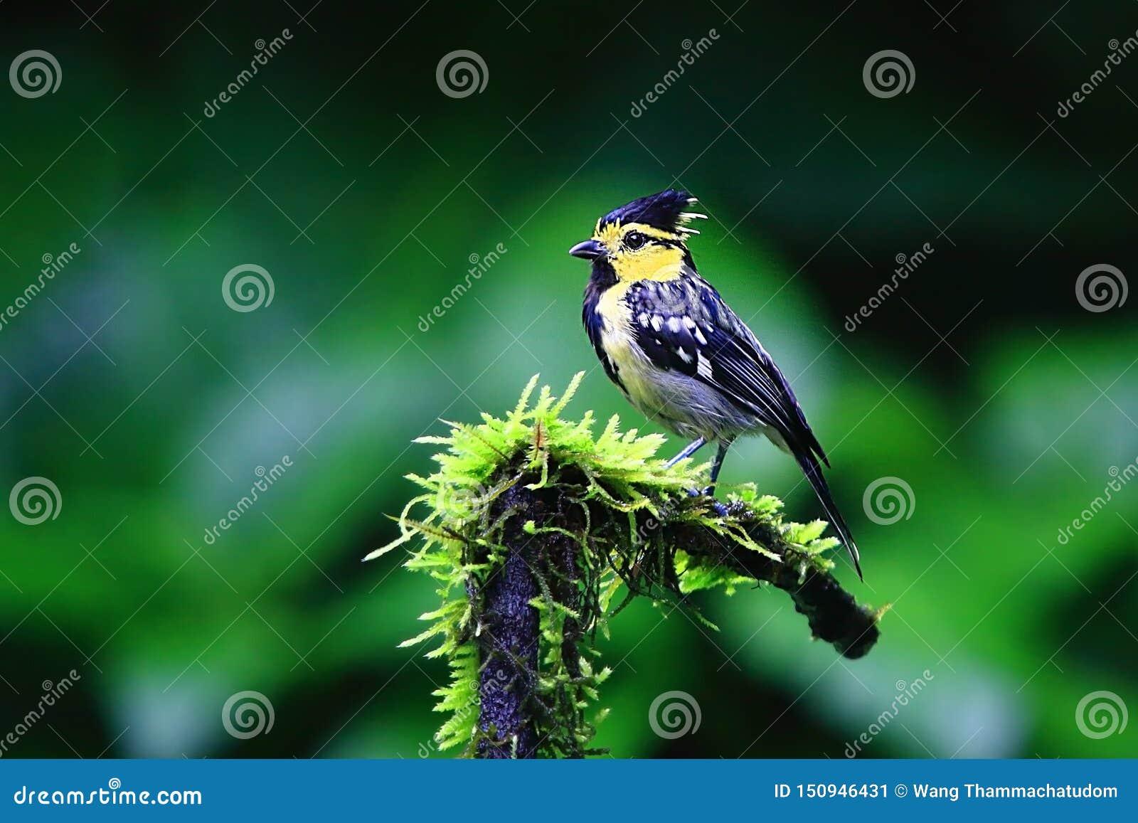 Melharuco amarelo-cheeked