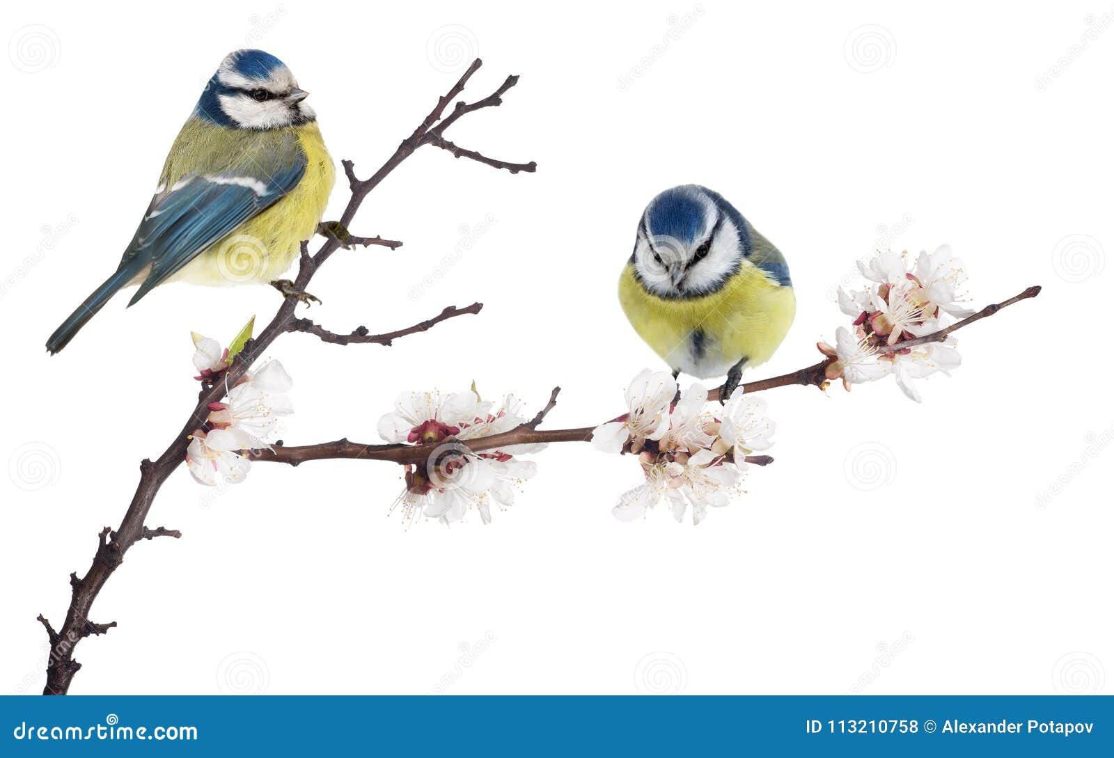 Melharucos azuis euro-asiáticos no ramo de florescência da árvore de cereja no branco