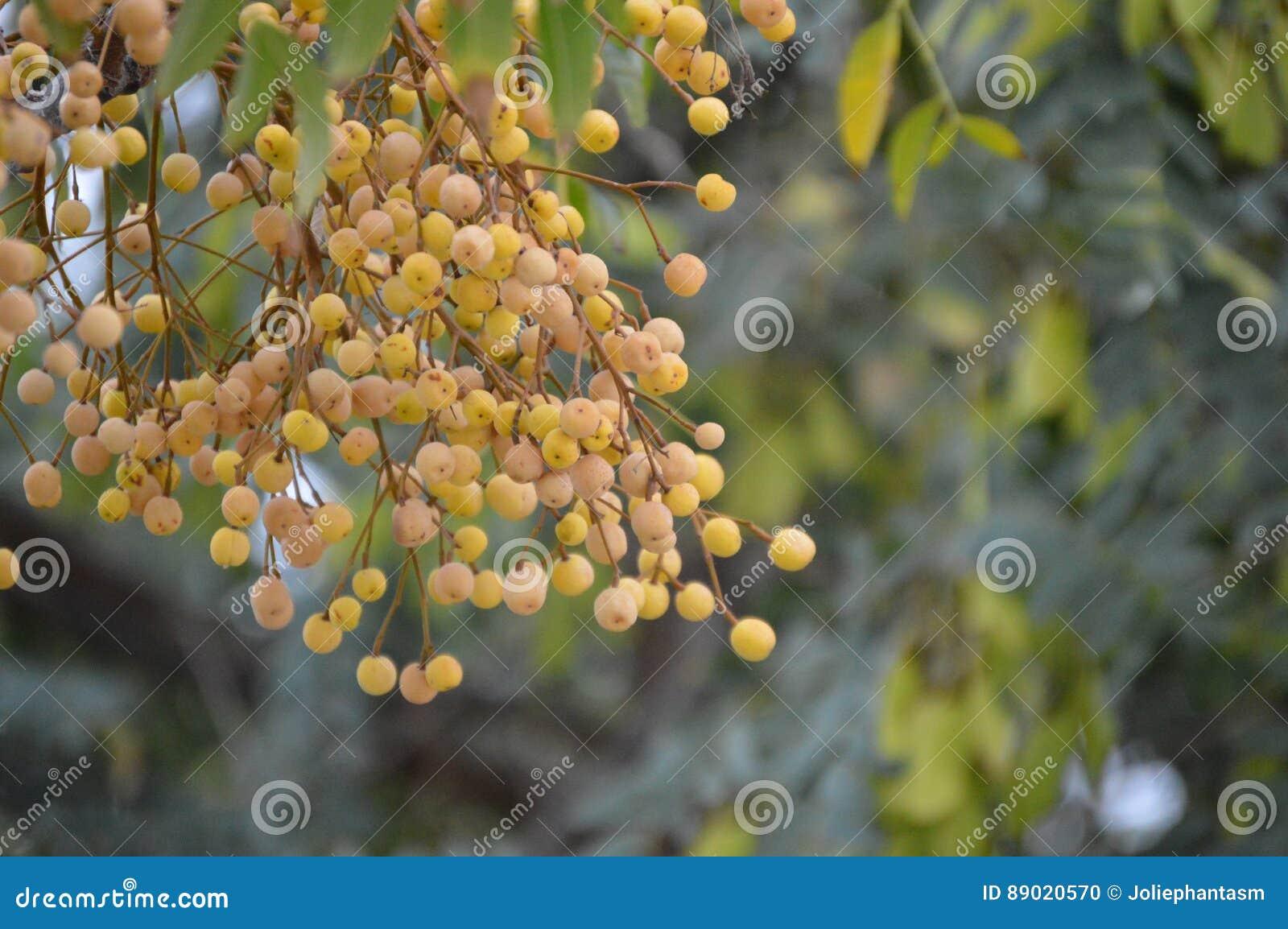 Melia azedarach boom en fruit