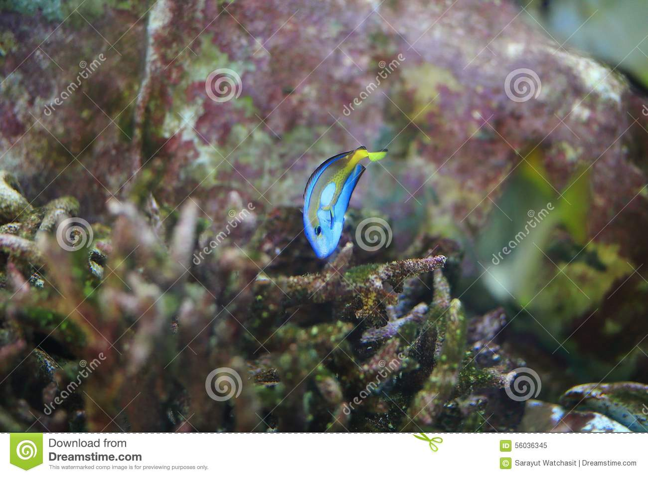 Melichthys Niger Stock Image Image Of Fins, Durgon, Anal - 56036345-5097