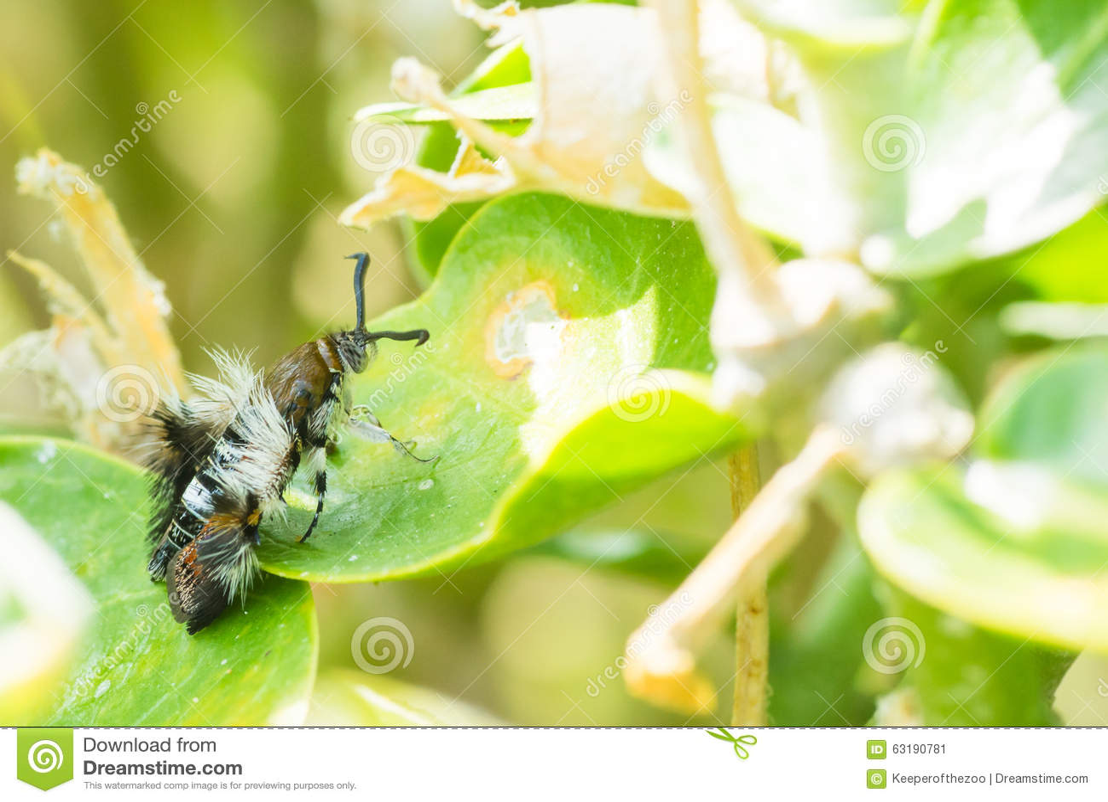 Melittia Oedipus Moth