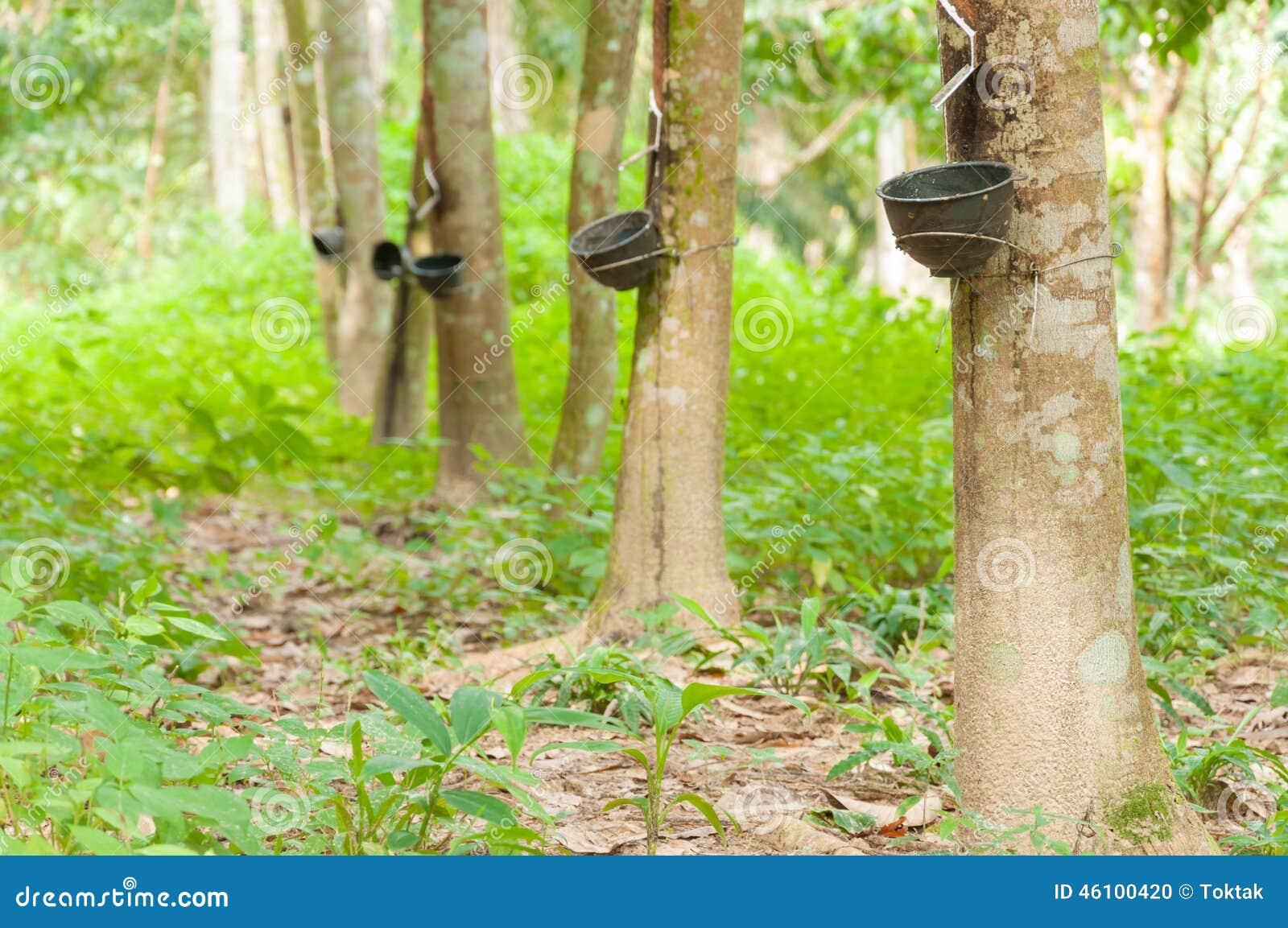 Melkachtig die latex uit rubberboom wordt gehaald (Hevea Brasiliensis)