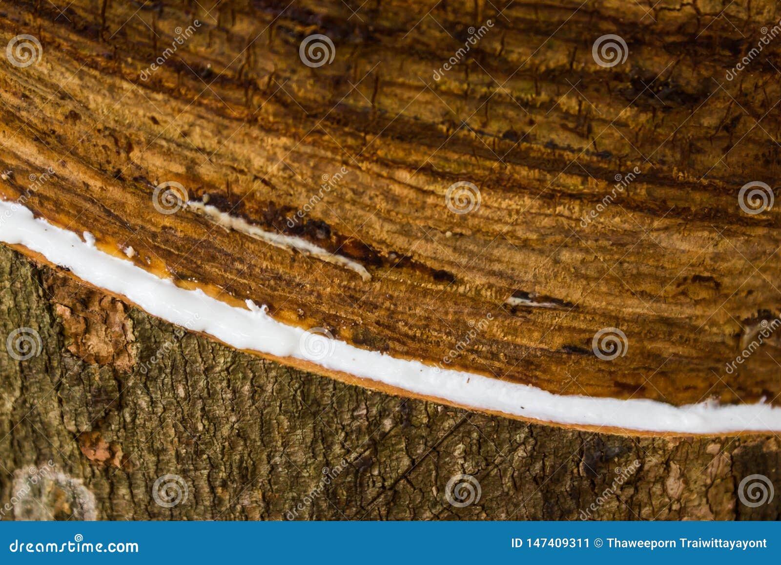 Melkachtig die latex uit rubberboomhevea Brasiliensis wordt gehaald