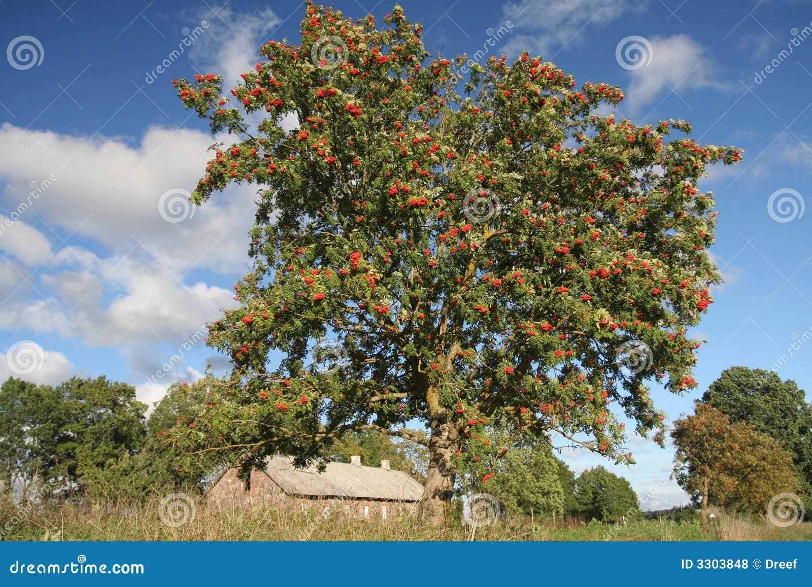Mellow as-boom bessen stock foto. Afbeelding bestaande uit ...  Dat