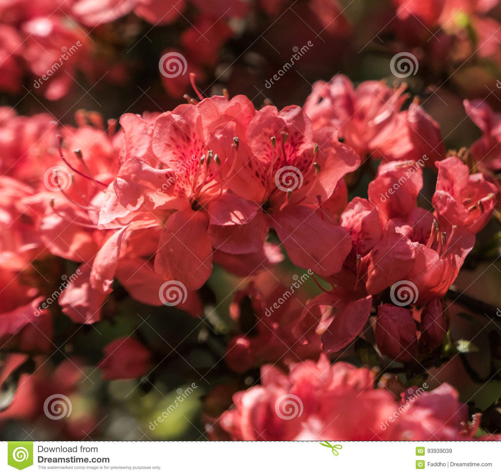 Melocotón carmesí Sakura, flores de la flor de cerezo de Nara