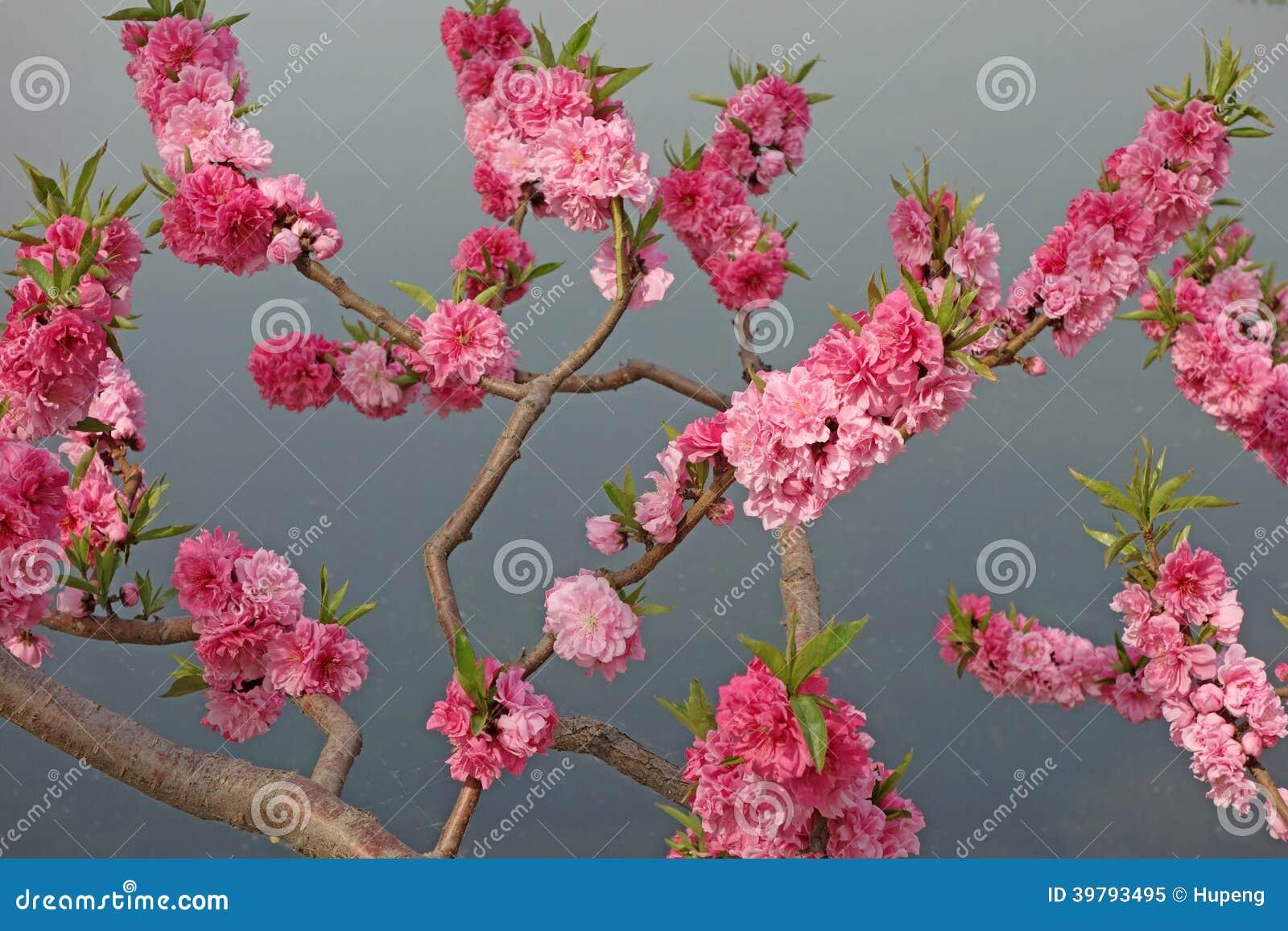 Melocotón floreciente