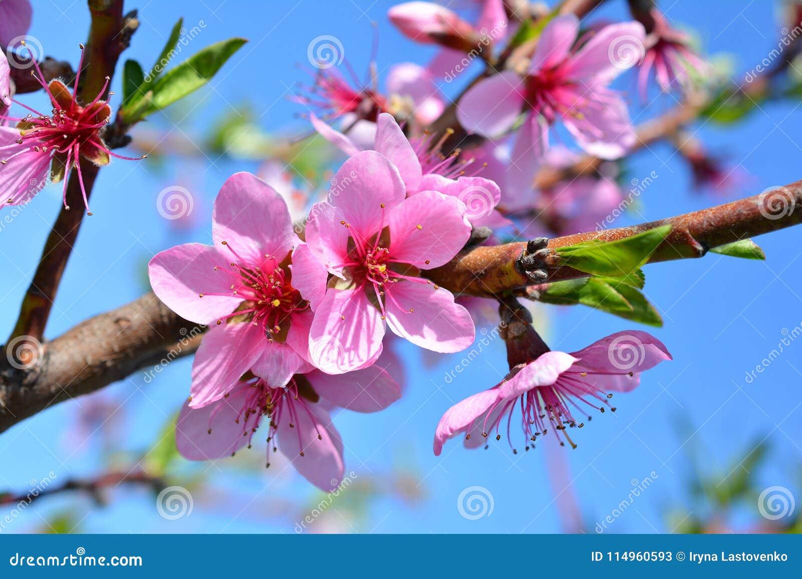 Melocotón Floreciente De Las Flores Rosadas Dulces En El ...